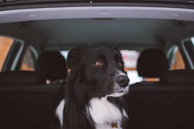 pies na tylnym siedzeniu auta